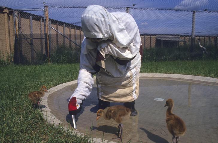 Фото №2 - Самые дурацкие уловки по сохранению исчезающих животных