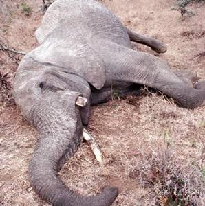 Фото №1 - Торговлю слоновой костью запретят на 9 лет