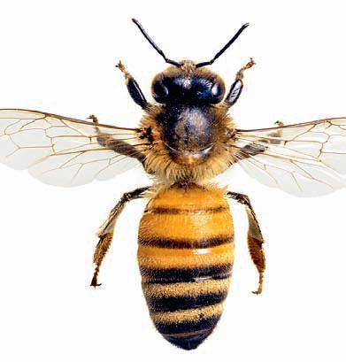Фото №1 - Какое количество укусов пчел смертельно для человека?