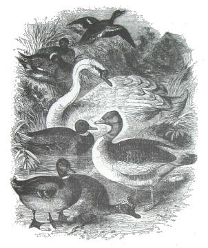 Фото №2 - Домашние птицы