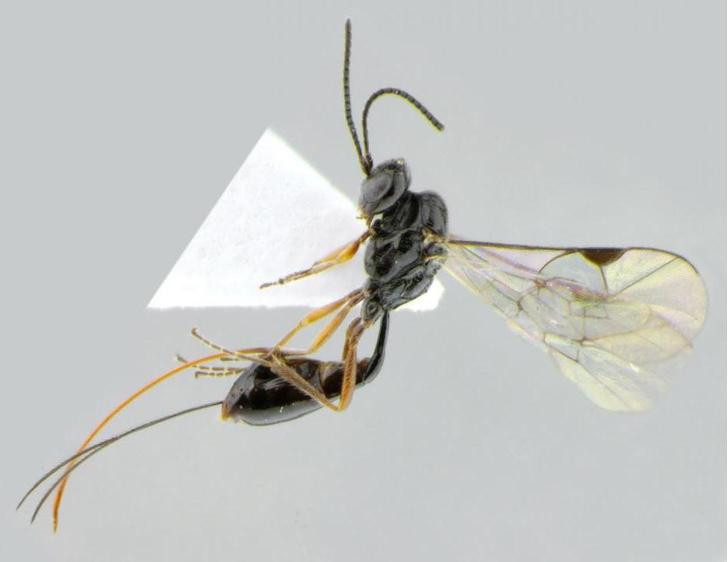 Фото №1 - Новый вид насекомых назвали в честь COVID-19