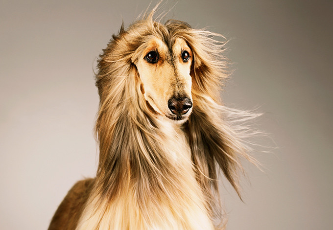 Собака с золотой шерстью