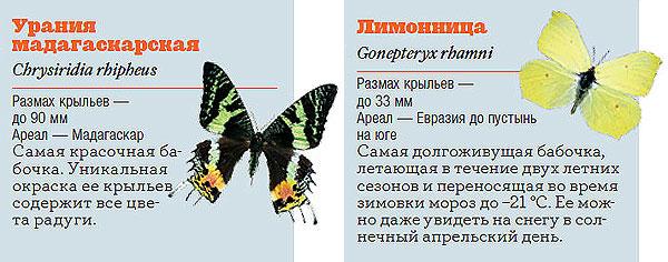 Фото №8 - Жизнь с размахом: энциклопедия бабочек