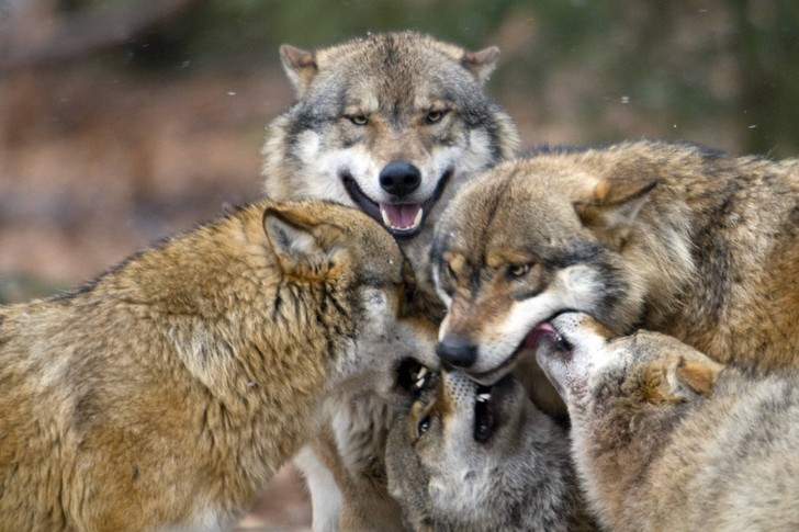 Фото №1 - Названа неожиданная причина роста популяции волков в Германии