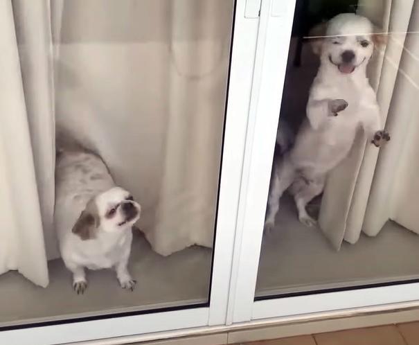 Фото №1 - Собачки бурно радуются вернувшимся домой хозяевам (душевное видео)
