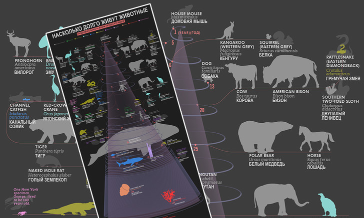 Фото №1 - Как долго живут разные виды животных (наглядные цифры в одной картинке)