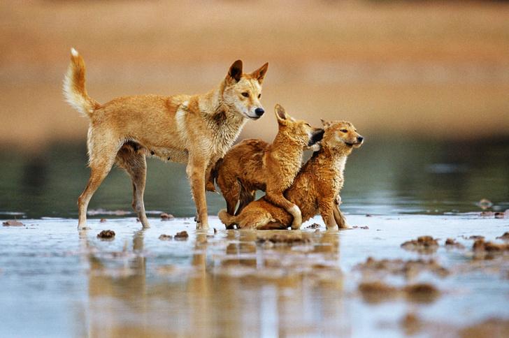 Фото №6 - Собаки с волчьим билетом