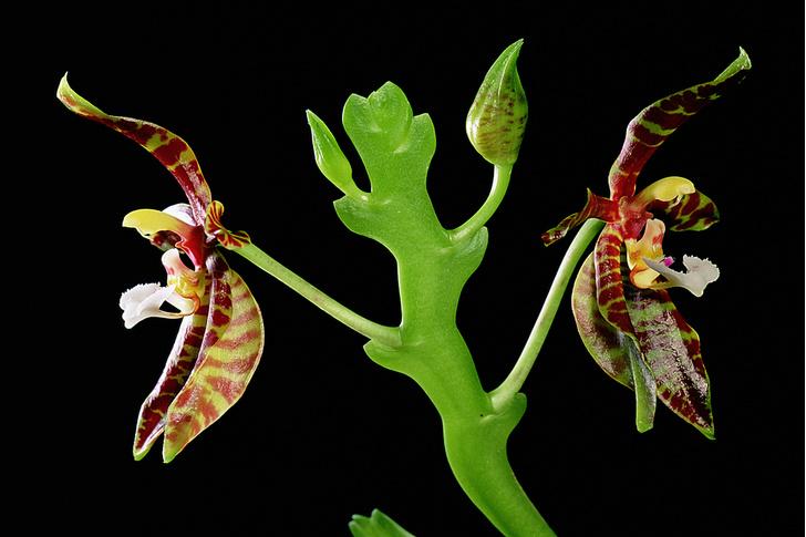 Фото №9 - Ботаника: прекрасные мошенницы