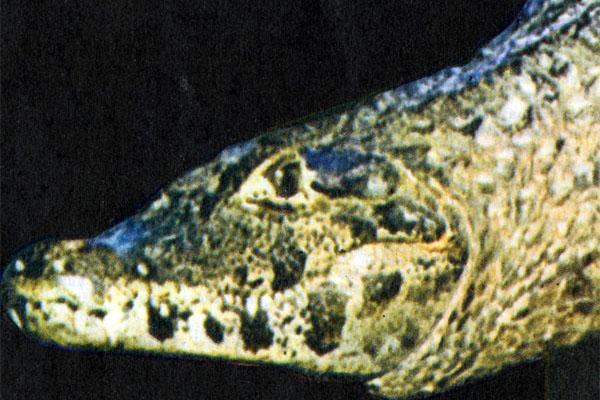 Фото №1 - Крокодилы любят алмазы