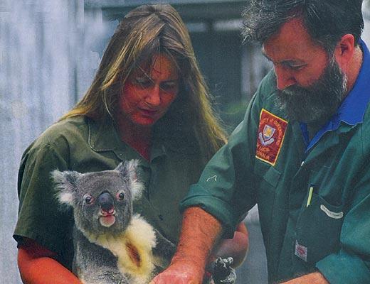 Фото №5 - О гигантских сверчках, прилежных ленивцах и поднадзорных коалах