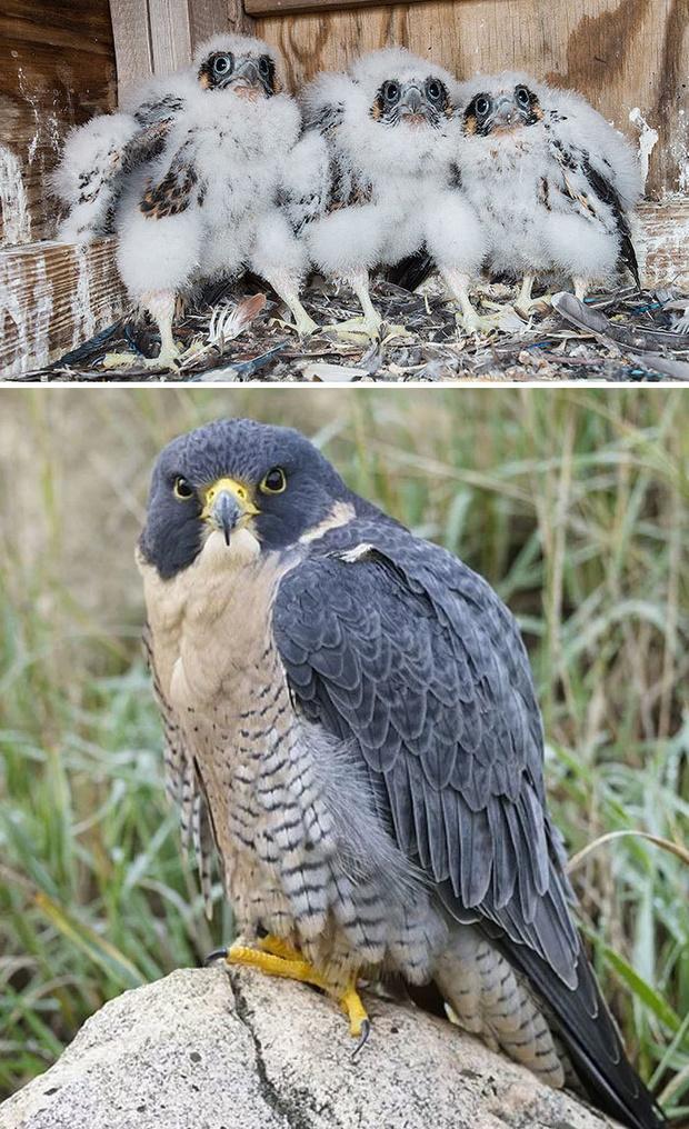 Фото №10 - 30 красивых птиц, которые были уродливыми птенцами (галерея)