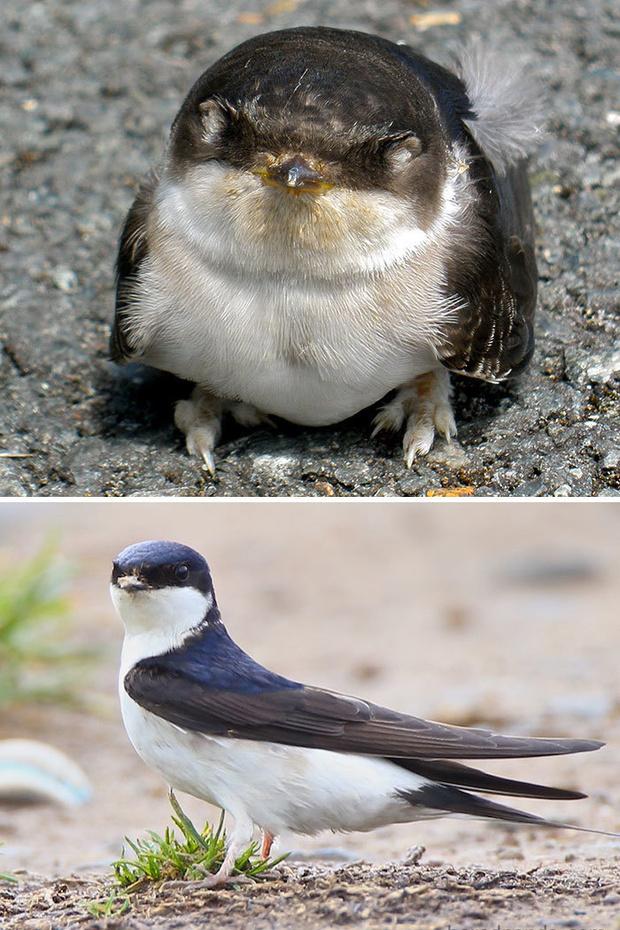 Фото №14 - 30 красивых птиц, которые были уродливыми птенцами (галерея)