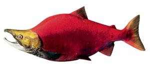 Фото №2 - Вечное возвращение: удивительные факты из жизни лососей