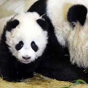 Фото №1 - Китайских панд развели на беби-бум