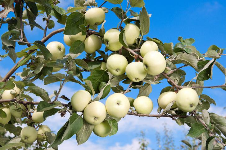Фото №4 - Как заготавливали яблоки сто лет назад: шесть простых рецептов