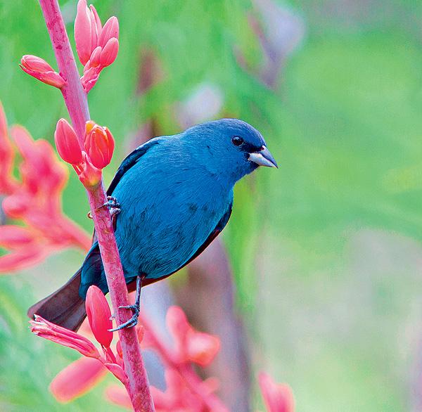 Фото №1 - Индиговый овсянковый кардинал