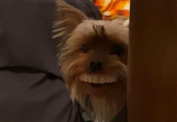 Фото №1 - Пес украл у хозяина вставные зубы и теперь бегает с жуткой улыбкой (видео)