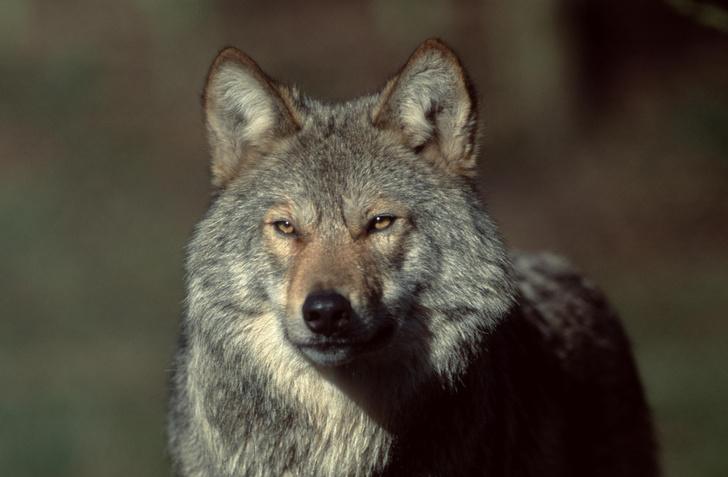 Фото №1 - Жители Колорадо проголосовали за возвращение волков