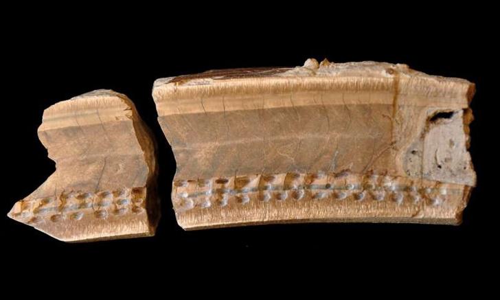 Фото №1 - Обнаружен зуб гигантского доисторического ленивца
