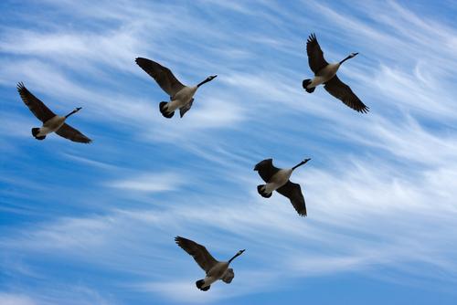 shutterstockУдаляющийся птичий клин неизменно приковывает к себе наше внимание и, навевая немного грустные воспоминания, удивляет своей красотой и совершенством. Между тем это завораживающее явление имеет и чисто практическое объяснение.