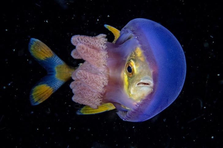 Фото №1 - Рыба внутри медузы