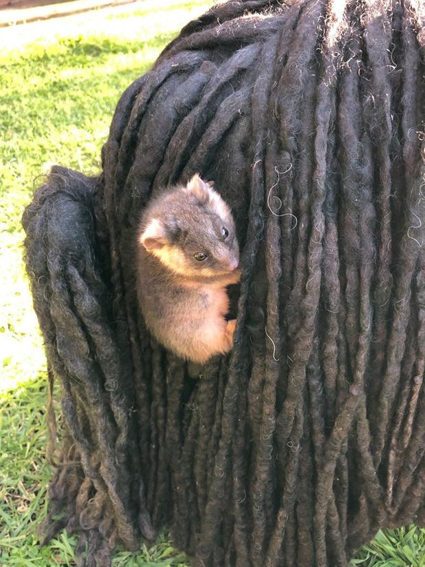 Фото №5 - Хозяйка собак обнаружила у них в шерсти двух малышей опоссумов
