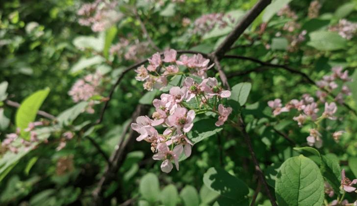 Фото №1 - В Красноярском крае черемуха внезапно зацвела розовым цветом
