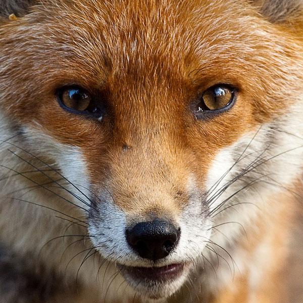 Фото №1 - Китайская лисичка — совсем не сестричка