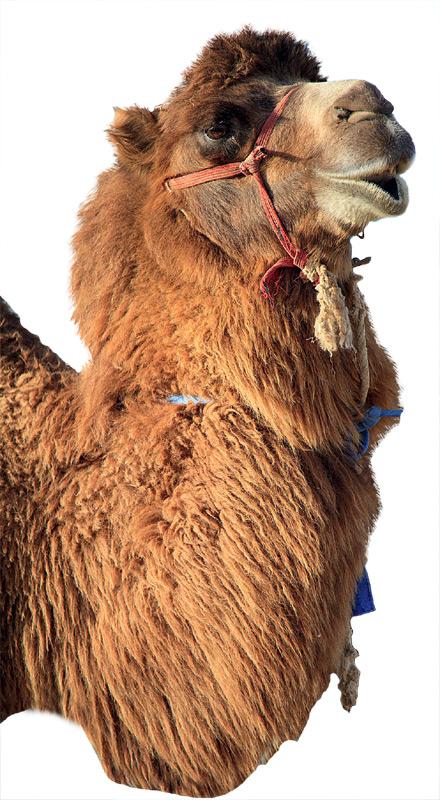 Фото №1 - Зачем верблюд плюется?