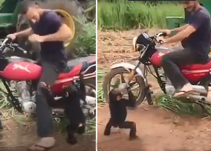 Фото №1 - Детенышу обезьяны не разрешили покататься на мотоцикле, и он закатил истерику, как ребенок (видео)