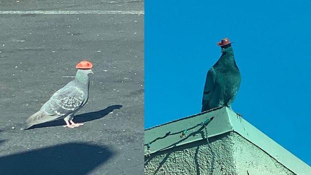 Фото №2 - В Лас-Вегасе кто-то надевает на голубей маленькие ковбойские шляпы, и объяснений этому пока нет (фото и видео)