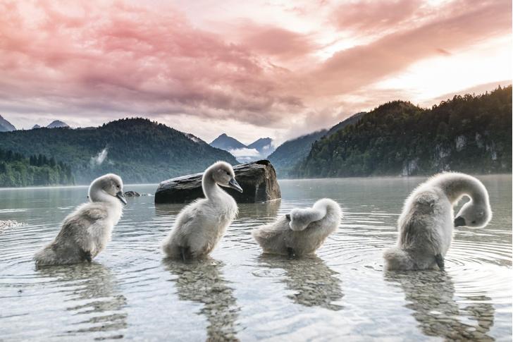 Фото №1 - Лебеди на закате