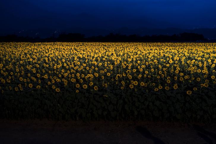 Фото №1 - Подсолнухи в ночи