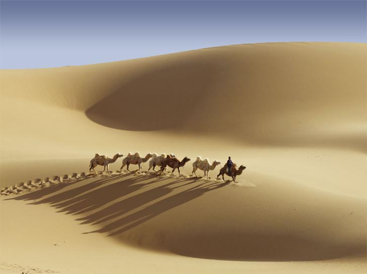 Фото №1 - Сухой закон: как верблюды выживают в экстремальных условиях
