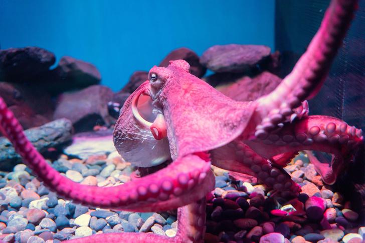 Фото №1 - Ученые рассказали, как спят осьминоги