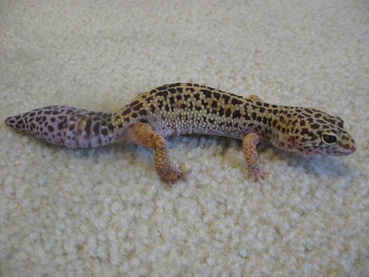 Фото №1 - Почему у ящериц заново отрастает хвост?