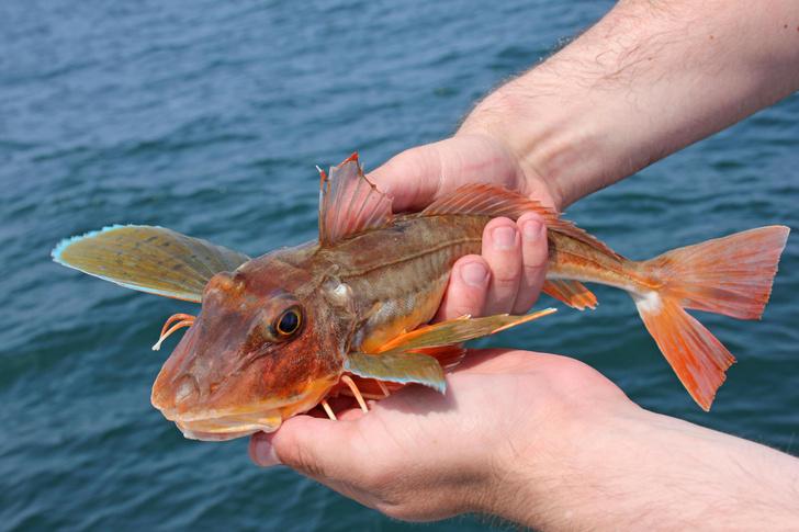 Фото №1 - Чем «говорят» рыбы?