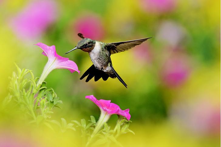 Фото №1 - Маленькая жизнь: как колибри стали настоящими супергероями