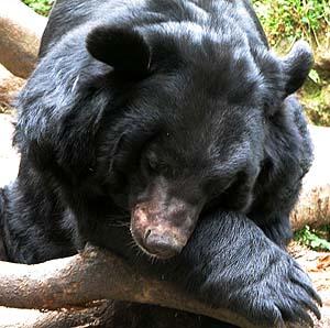 Фото №1 - В белградском зоопарке медведи растерзали человека