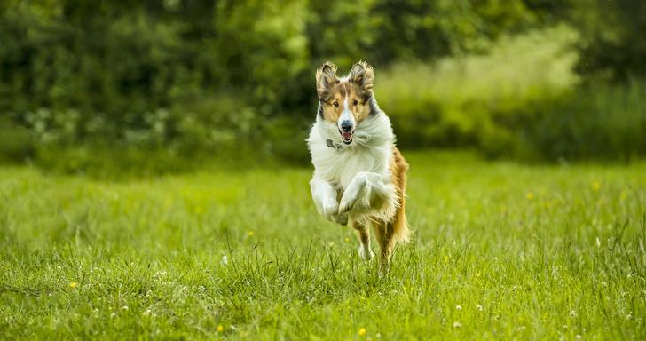 Фото №1 - Лесси: 6 фактов о самой известной собаке в кино
