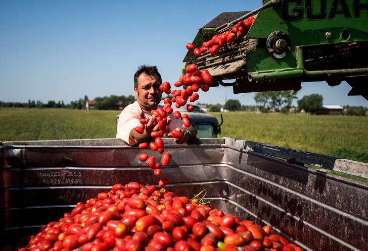 Фото №1 - Итальянские краски: как красные помидоры становятся «Золотыми томатами»