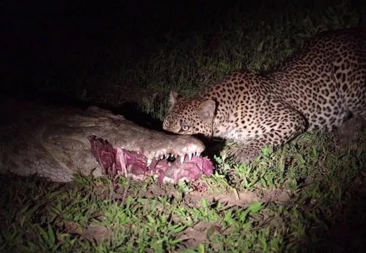 Фото №1 - Ловкий леопард украл еду прямо из пасти крокодила (видео)