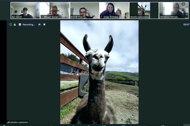 Фото №1 - Американская ферма предлагает услугу «Пригласи козла или ламу на свое Zoom-совещание»
