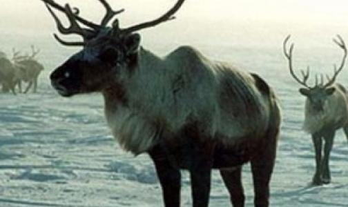 Фото №1 - В Пулково арестовано мясо северного оленя без ветеринарных документов