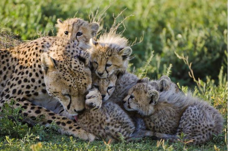 Фото №1 - В Индию вернутся гепарды
