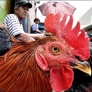 Фото №1 - Птичий грипп преследует человечество