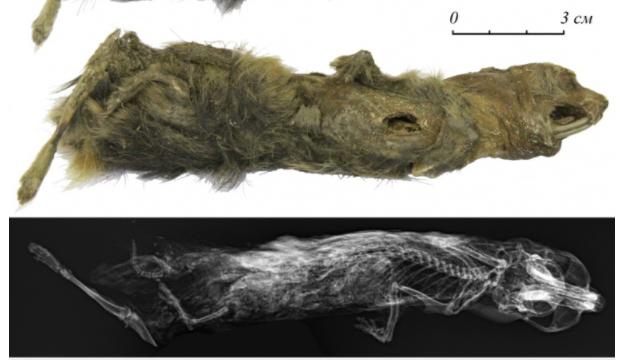 Фото №1 - Якутская школьница нашла мумию лемминга в вечной мерзлоте