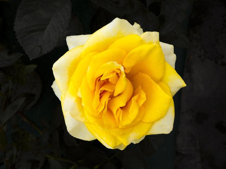 Фото №1 - Генетики раскрыли секрет аромата розы