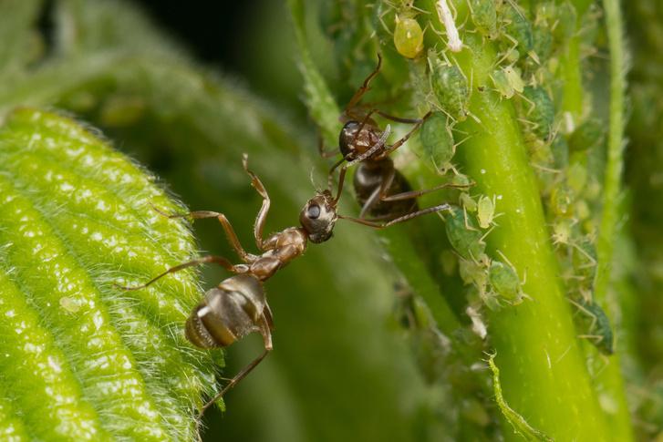Фото №1 - Почему муравьи оберегают тлей?