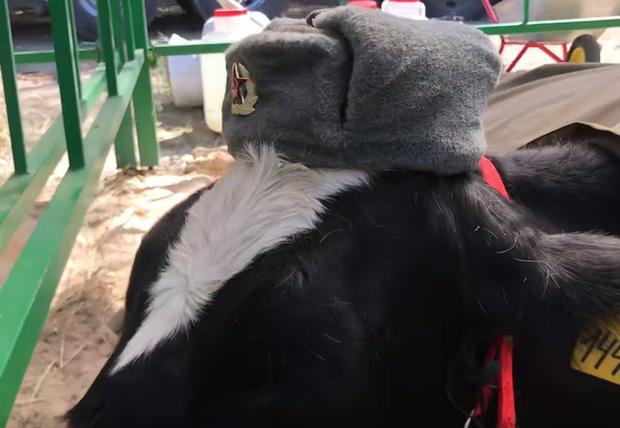 Фото №1 - На ярмарке в Брянске коров нарядили в форму Советской армии (видео)